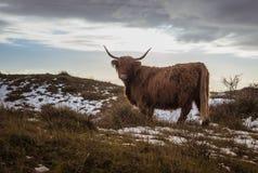 Brun galloway ko i solnedgång Arkivfoto