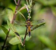 Brun gatuförsäljare Dragonfly Arkivbilder