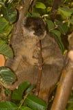 brun gemensam lemur Arkivbild