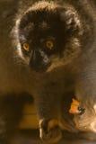 brun gemensam lemur Arkivfoton