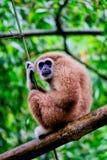 Brun gibbon Arkivbild