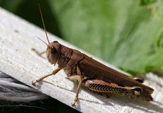 Brun gräshoppa Arkivfoton