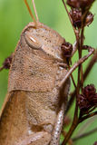 Brun gräshoppa Royaltyfria Bilder