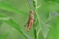 Brun gräshoppa Royaltyfri Bild