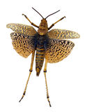 Brun gräshoppa Arkivbilder