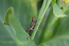 Brun gräshoppa upp slut i trädgård fotografering för bildbyråer
