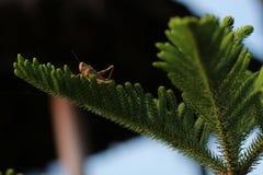 Brun gräshoppa upptill av granen Royaltyfria Bilder