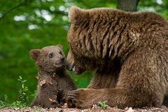 brun gröngöling för björn royaltyfri bild