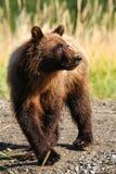 Brun grisslybjörn för Alaska barn i solsken royaltyfri fotografi