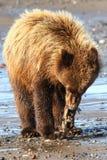 Brun grisslybjörn för Alaska barn som äter fisken arkivfoton