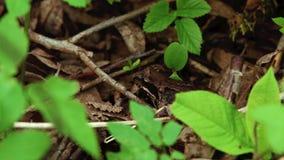 Brun groda i skogen lager videofilmer