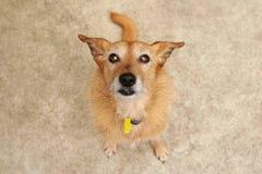 brun gullig hund som ser upp Royaltyfria Bilder