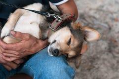 Brun gullig hund som sover på manhänder och knä arkivfoto