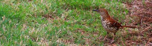 Brun härmtrast på jakten Royaltyfria Foton