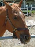 brun häst royaltyfria bilder
