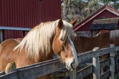 brun häst royaltyfri fotografi