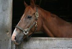 brun häst Arkivbilder