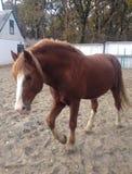 brun häst Arkivfoton