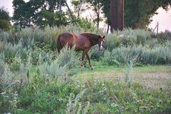 brun häst arkivbild
