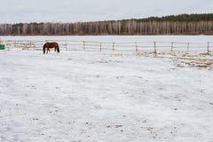 Brun häst i en penna i vinter Arkivfoto