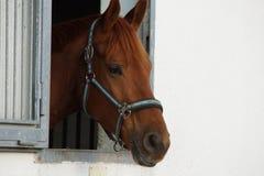 Brun häst i ett stall Royaltyfria Bilder