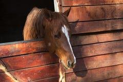 Brun häst i ett trästall Arkivfoto