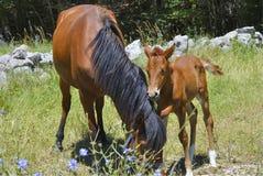 Brun häst med dess föl arkivbild