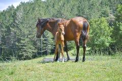Brun häst med dess föl arkivbilder