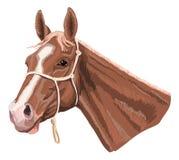 Brun häst med halteren Royaltyfria Bilder
