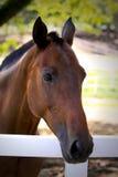 brun häst mig Royaltyfri Foto
