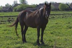 Brun häst på en våräng Fotografering för Bildbyråer