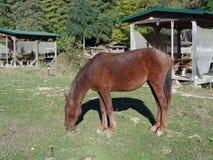 Brun häst på gräset Royaltyfri Foto