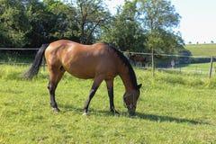 brun häst på paddock royaltyfri foto