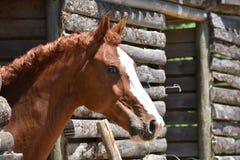 Brun häst som är medveten av åskådare Arkivbild