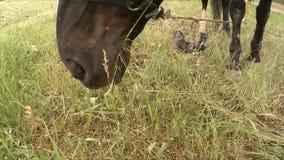 Brun häst som äter gräs på äng stock video