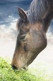Brun häst som äter gräs på himmelbakgrund royaltyfri fotografi