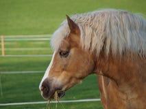 Brun häst som äter hö Arkivbilder