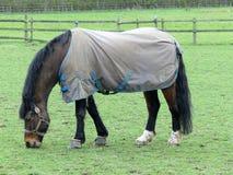 Brun häst som bär laget för kallt väder royaltyfri bild