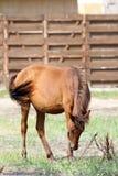 Brun häst som betar på äng Arkivfoton