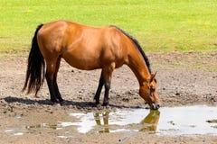 Brun häst som dricker i lerigt fält Arkivfoto