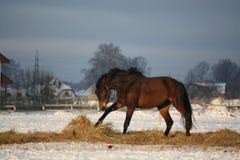 Brun häst som fritt kör i vinter Arkivfoton