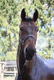 Brun häst som tvättar sig Royaltyfria Foton