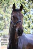 Brun häst som tvättar sig Arkivfoto