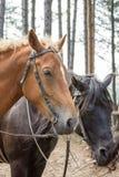 Brun hästheadshot med den svarta hästen i bakgrunden royaltyfria bilder