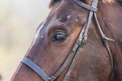 brun häststående Royaltyfri Bild