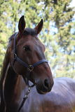 Brun häststående efter dusch Royaltyfria Foton