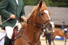 Brun häststående med tygeln Fotografering för Bildbyråer