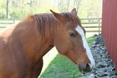 brun hästwhite Arkivbilder