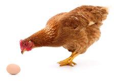 Brun höna och ägg Arkivbild