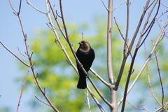 Brun hövdad Cowbird i träd Royaltyfria Foton